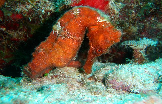 Hippocampe Réserve Naturelle Cousteau