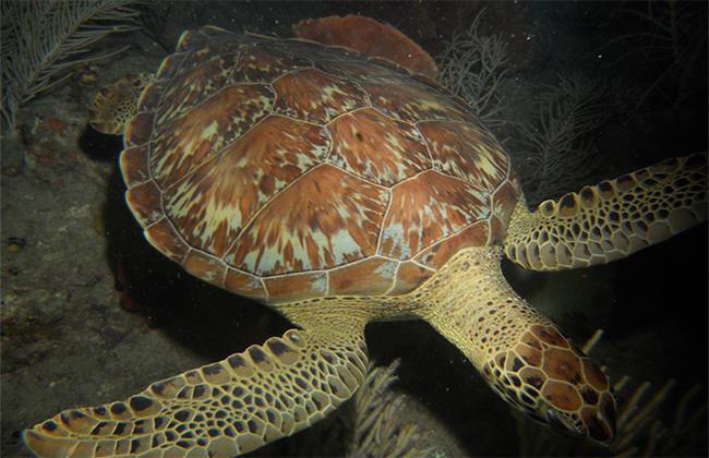 Plongée de nuit avec les tortues
