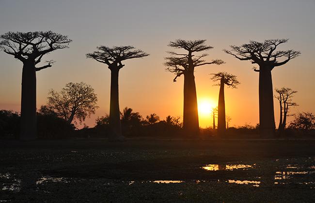 Allée des Baobabs (Photo Heidi Lafeuil)