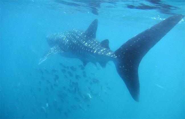 Requin baleine Djibouti