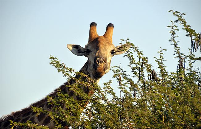 girafe redim