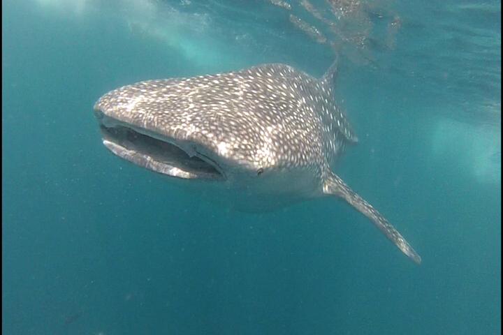 Requin baleine (Photo Heidi Lafeuil)